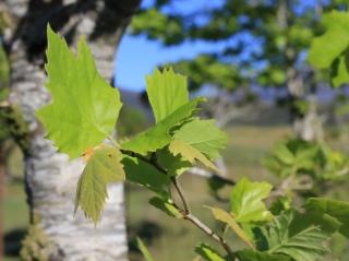 Platane à feuilles d'érable.