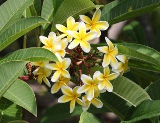 Plumeria. Frangipanier. Fleurs jaunes.