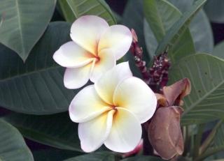 Arbre à fleurs blanches odorantes