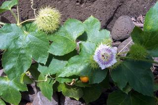 Passiflora foetida.
