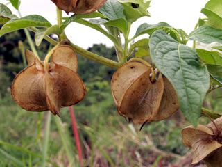 Fruits Nicandra physaloides.