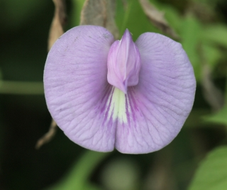 Centrosema virginianum (L.) Benth. Fleur.