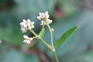 Fleurs : Persicaria chinensis.