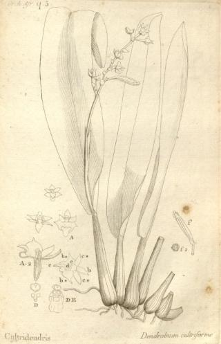Polystachya cultriformis (Thouars) Lindl. ex Spreng.