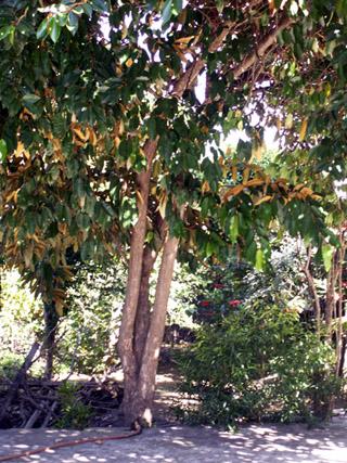 Chrysophyllum cainito L. Caïmitier.