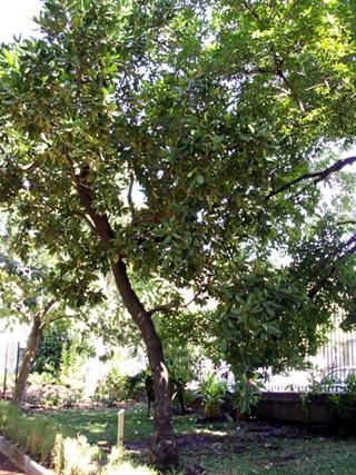 Mimusops coriacea. Pommier d'accot. Pomme jacot..