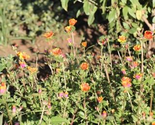 Portulaca grandiflora. Pourpier à grandes fleurs.