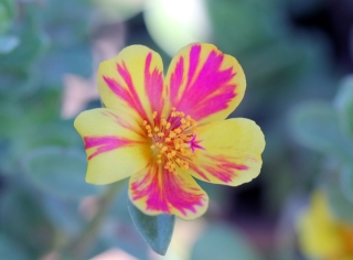 Fleur Portulaca grandiflora.