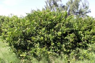 Flacourtia indica (Burm. f.) Merr.