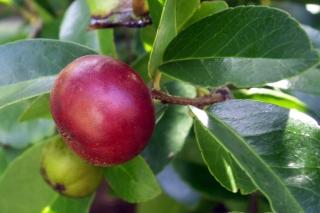 Flacourtia indica. Prune malgache.