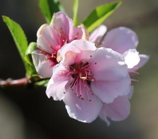 Fleur Prunus persica. Pêcher.
