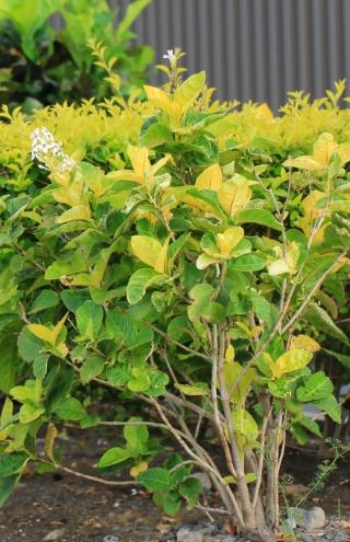 Pseuderanthemum carruthersii (Seem.) Guillaumin.