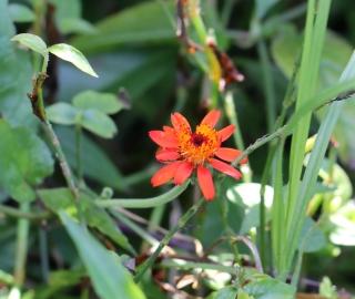 Pseudogynoxys benthamii Cabrera.