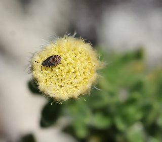 Psiadia callocephala (Bory) Cordem.