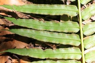 Ptisana fraxinea (Sm.) Murdock.