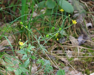Ranunculus sericeus Poir.