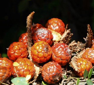 Raphia farinifera. Fruits