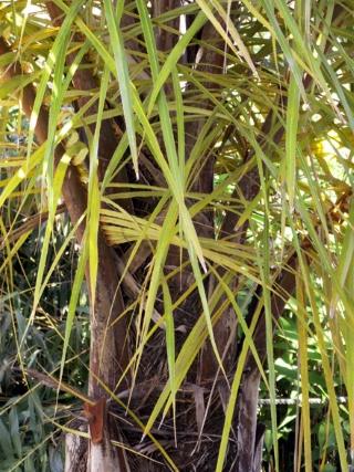 Raphia farinifera (Gaertn.) Hyl.