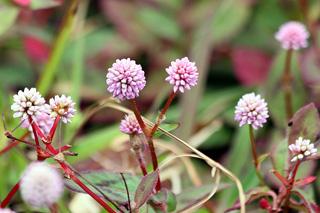 Fleurs : Persicaria capitata.