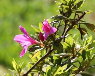 Rhododendron simsii. Azalée des Indes. Fleurs.