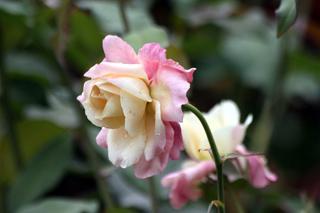 Fleur Rose de Bourbon Rosa x borboniana.
