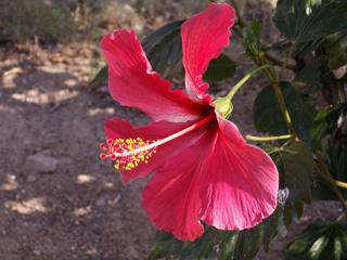 Hibiscus rosa-sinensis L. Rose de Chine.