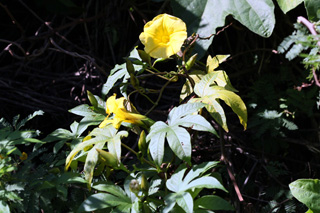 Merremia tuberosa (L.) Rendle. Rose des Bois.