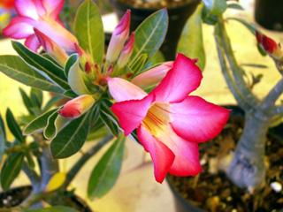 Fleur Rose du désert. Adenium obesum.