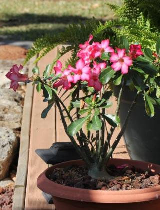 Rose du désert. Adenium obesum.