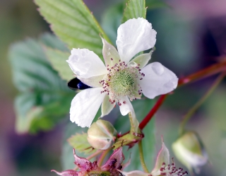 Rubus fraxinifolius Poir.