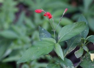 Ruellia brevifolia espèce envahissante à La Réunion.