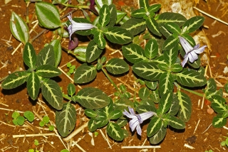 Ruellia devosiana, pétunia sauvage brésilien.
