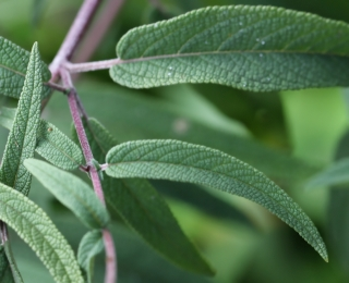Salvia leucantha Cav. Sauge du Mexique.