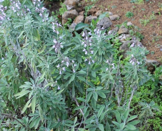 Salvia officinalis L. Sauge officinale.
