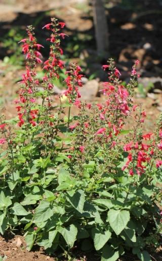 Salvia coccinea. Sauge écarlate.