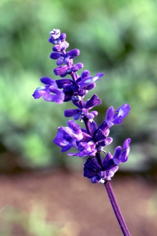 Salvia farinacea.