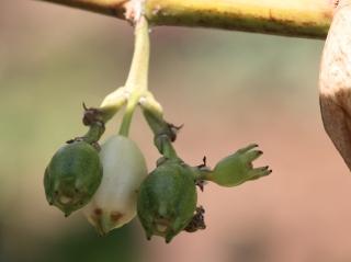 Scaevola taccada (Gaertn.) Roxb. Fruits.