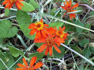 Séneçon, senecio orange ou marguerite orange. Pseudogynoxys chenopodioides - Senecio confusus