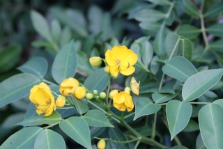 Senna x floribunda (Cav.) H.S. Irwin et Barneby.