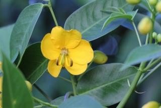 Fleur Senna x floribunda.