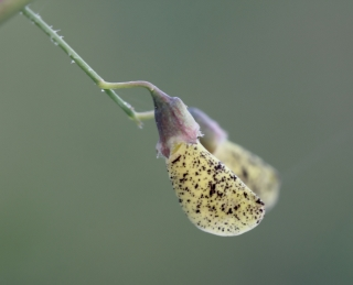 Sesbania bispinosa (Jacq.) W. Wight.