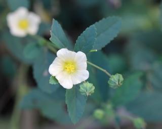Fleur Sida acuta.