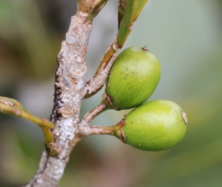 Sideroxylon borbonicum DC. Fruits.