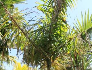 Socratea exorrhiza. Palmier marcheur.
