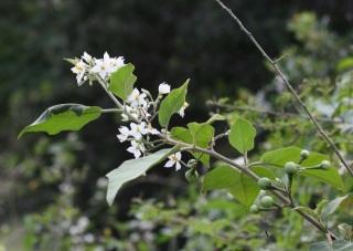 Solanum americanum Mill.