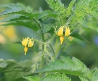 Solanum lycopersicum L. Tomate. Fleurs jaunes.