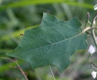 Solanum robustum. Feuille.