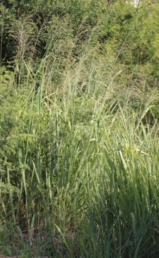 Sorghum arundinaceum (Desv.) Stapf.