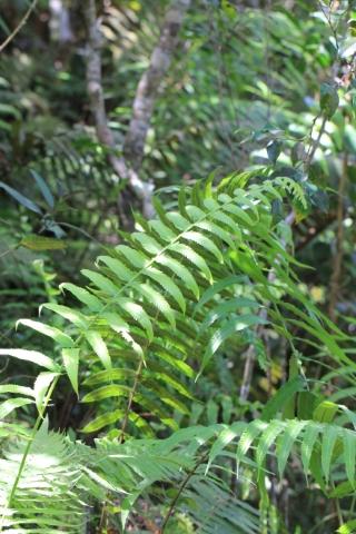 Sphaerostephanos elatus (Bojer) Holttum subsp. elatus.