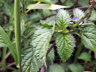 Stachytarpheta jamaicensis.